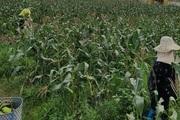 Hải Phòng: Trồng thứ cây ra quả gọi là bắp, hạt dẻo kẹo lại thơm thơm, nông dân khỏe cả người