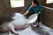 Nghệ An: Vì sao lợn nái hay mắc dịch tả châu Phi, mang thai sắp đến ngày đẻ bỗng lăn ra chết?