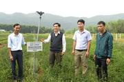Quảng Trị: Chè vằng là cây gì, có công dụng gì mà dân ở đây trồng thu nhập tăng hẳn lên?