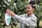 """Lợi ích từ việc """"mặc áo"""" cho trái cây ở Sơn La"""