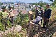 Công an vào cuộc điều tra vụ cưa hạ nhiều cây thông cổ thụ giữa TP.Đà Lạt