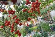 """Kinh nghiệm trồng cà chua """"ngàn quả"""" trên sân thượng khiến mọi người mắt tròn mắt dẹt"""