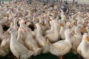 Giá gia cầm hôm nay 28/4: Vịt lao dốc còn 43.000 đồng/kg, người nuôi gà trắng ôm cục nợ