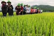 """Bình Định: TBR97 - giống lúa """"không thể chê"""" cho vùng hạn, đạt năng suất bất ngờ"""