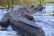 Những chú cá sấu rapper được chuyển tới ngôi nhà mới ở Công viên Bò sát Úc