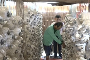 Chỉ với diện tích 50m², lão nông trồng nấm bào ngư kiểu gì mà cho thu hoạch 30-40kg một ngày?