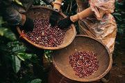 Giá nông sản hôm nay 7/4: Cà phê tăng nhẹ, giá tiêu trong nước ở mức cao