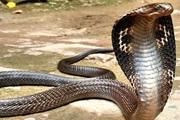 Quảng Bình: Rắn hổ mang chúa quý hiếm dài 1,5 mét, có tên trong sách đỏ vừa được thả về tự nhiên
