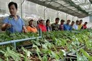 Quảng Nam: Cấp 14 nghìn cây sâm Ngọc Linh giống cho dân