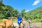 Kỹ sư nông nghiệp 'gác' bằng đại học lên núi chăn nuôi