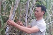 Nông thôn Tây Bắc: Bỏ sắn trồng mía để thu nhập ổn định