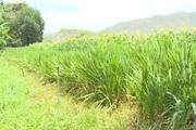Bình Thuận: Nhân giống cỏ mới nhiều dinh dưỡng cho đàn gia súc