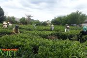 Lai Châu: Phát triển sản xuất nông nghiệp bền vững theo chuỗi liên kết