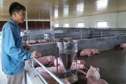 """Giá thức ăn chăn nuôi tăng vù vù, nông dân nuôi lợn cầm chừng, đại lý cám cũng """"vỡ mặt"""""""