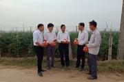 Hải Dương: Trồng cà chua sạch, doanh nghiệp tới tận ruộng thu mua