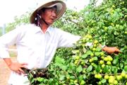 Tiền Giang: Làm cách này, ông nông dân trồng táo bán sạch cả tấn trái mỗi ngày giữa đại dịch Covid-19