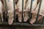 Lợn béo phì ở Trung Quốc khiến giá thịt lợn nước này tụt dốc liên tục