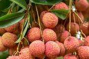 Vải trứng Hưng Yên giá 100.000 đồng/kg