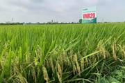 Giống lúa thuần VNR20 cho năng suất vượt trội, nông dân Hưng Yên đánh giá cao