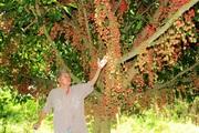Rực đỏ mùa dâu da ở huyện miền núi Hà Tĩnh