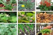 Vừa là rau ăn vừa là thuốc chữa bệnh cực nhạy, nhà nào cũng nên trồng những loại cây này