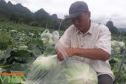 Sơn La: Bỏ ngô trồng rau an toàn, một nông dân thu cả tỷ đồng mỗi năm