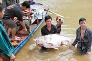Sơn La: Nước sông Đà lại đột ngột cạn, dân chài lưới bắt toàn được cá khủng, có con cá mè nặng hơn 50kg