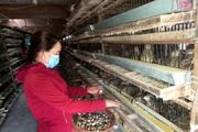 """Phú Yên: Giá trứng lao dốc mạnh, nông dân bán tháo loài chim mắn đẻ này vì sợ phải nuôi """"báo cô"""""""