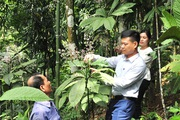 Hà Giang: Cây khôi tía là cây gì mà dân ở đây trồng ra chỉ đếm lá tính tiền, trồng không kịp bán?