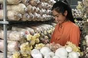 Bến Tre: Sở hữu hàng chục nghìn phôi nấm, mỗi tháng bà chủ trại nấm sạch thu hàng chục triệu đồng