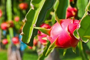 Nông dân trồng chanh leo và thanh long cho hiệu quả kinh tế cao ở vùng gò đồi Quảng Trị