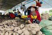 Vĩnh Long: Giá 1 ký khoai lang không bằng ly trà đá, nông dân trắng tay