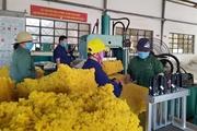 """Kon Tum: Giá """"vàng trắng"""" đang tăng lên, nông dân Sa Thầy phấn khởi vào vụ thu hoạch"""