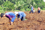 Hậu Giang: Giá bán loại nấm ăn ngọt lừ này tăng cao, nông dân ra đồng hối hả đắp ụ trồng
