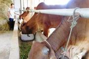 Quảng Trị: Trồng cỏ, nuôi bò nhốt chuồng, toàn con to bự, nông dân khá giả lên