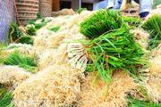 Thứ cây trồng ngắn ngày, chi phí ít, nhổ lên củ thơm lừng giúp nông dân Bình Định thu nhập khá