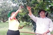 """Bình Phước: Nhiều nông sản điêu đứng vì Covid-19, đặc biệt có loại trái đặc sản rất đắt hàng, mỗi cây """"đẻ"""" 5-6 tạ quả"""