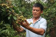 Sơn La: Trồng nhãn ở huyện biên giới, nông dân có cuộc sống sung túc