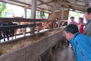 Dịch Covid-19 khó lường, ngành nông nghiệp tỉnh Phú Yên khuyến cáo nông dân nuôi bò điều gì?