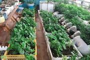 Độc đáo vườn rau sạch trồng trên đồ bỏ đi của gia đình ở Bắc Ninh