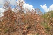 Rừng đang xanh tốt bất ngờ chết khô thành củi do nắng nóng, người trồng lâm cảnh trắng tay