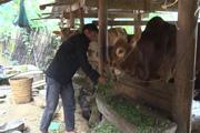 Hà Giang: Huyện Đồng Văn, Mèo Vạc bảo vệ chặt đàn trâu, bò trước dịch bệnh viêm da, nổi cục