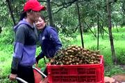 Bà Rịa – Vũng Tàu: Loại trái cây đặc sản trước muốn ăn phải săn lùng, nay giá rẻ như cho