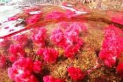 """Quảng Ninh: Chiêm ngưỡng những """"con"""" san hô đủ màu sắc đang """"lớn như thổi"""" ở vịnh Hạ Long"""