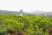 Một xã ở Bắc Giang thu hàng trăm tỷ đồng mỗi năm nhờ trồng loại quả vừa lắm mắt lại vừa ngọt và dai