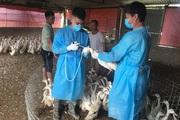 Hà Nội: Lần đầu tiên xuất hiện cúm gia cầm A/H5N8 ở huyện Ba Vì, kiểm soát chặt, bảo vệ đàn gia cầm