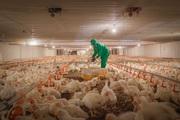 Tây Ninh: Hàng triệu con gà giống bị hủy bỏ, nguy cơ thiếu thịt gia cầm