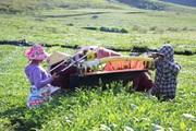 Nông dân Vân Hồ sống khoẻ và thu nhập cao từ cây chè Shan Tuyết