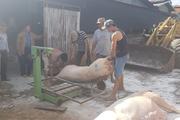 Lâm Đồng: Huyện Di Linh đang tổ chức dập khẩn trương ổ dịch tả heo châu Phi khiến 58 con lợn bị chết