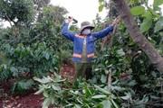 Đắk Lắk: Bơ booth hết thời rồi hay sao mà ở đây nông dân thẳng tay chặt bỏ?
